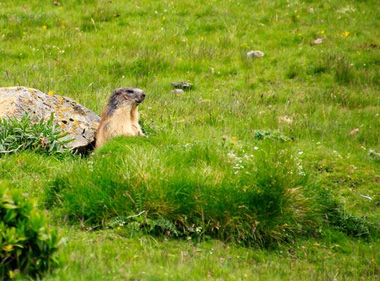 taller-muntanya-andorra-marmota